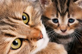 image of compassion  - Cute siberian cat with little kitten with focus on the cat - JPG