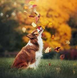 image of toy dog  - young red border collie dog playing with leaves in autumn - JPG