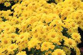 picture of chrysanthemum  - Yellow Chrysanthemum flower in garden tropical country - JPG