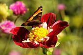 Milbert's Tortoiseshell Butterfly (nymphalis Milberti)