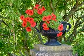 picture of flower pots  - Fine black iron flower pot with some red flowers inside - JPG
