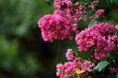 pic of crepe myrtle  - Pink crepe myrtle blooms closeup in morning light against green background - JPG