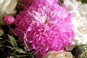 pic of chrysanthemum  - Pink chrysanthemum flower close up - JPG