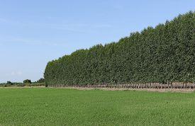 stock photo of eucalyptus trees  - Eucalyptus tree or paper tree in Thailand - JPG