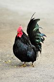 stock photo of fighting-rooster  - Beautiful black domestic rooster in a farmyard - JPG