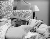 pic of get well soon  - Dog sick in bed  - JPG