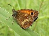 pic of gatekeeper  - a gatekeeper butterfly  - JPG