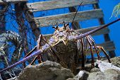 foto of panulirus  - Caribbean Spiny Lobster also knowen as the Florida Spiny Lobster  - JPG