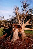 Broken Pecan Tree