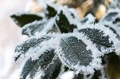 Frost On The Leaf And Snowflakes poster