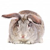 stock photo of cony  - Grey rabbit isolated on white - JPG