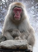 Japanese Macaque Relaxing