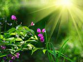 Erbse Frühlingsblumen