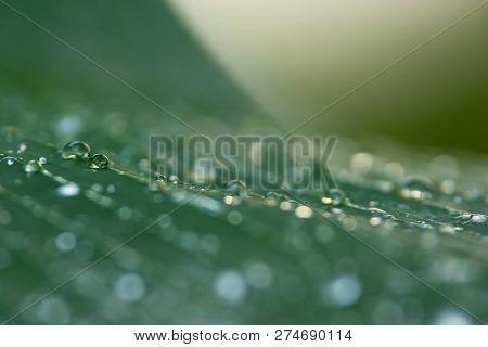 Rain Drops On Palm Leaf