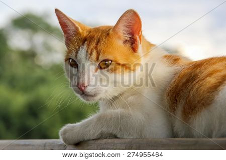 poster of Ginger White Cat Outside Lying. Cute Red White Cat On Nature Blurred Background. White Red Cat Lying