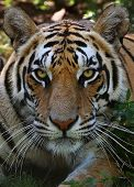 Great Tiger Male In The Nature Habitat. Tiger Walk During The Golden Light Time. Wildlife Scene With poster