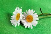Daisy de olho de boi de flores finas