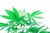 Grow In Grow Box Tent. Marijuana Business. Cannabis Flower Indoor Growing. Northern Light Strain. Pl poster