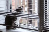 The Cat On The Window Is Hiding In The Blinds. Cat In Conclusion Looks At His Own Life. poster