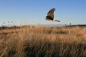 Northern Harrier Hawk on the Hunt