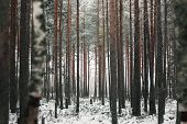 Winter Forest With Snowcapped Trees And Trunks. Beautiful Landscape Of Pine Forest In Frosty Day. Na poster