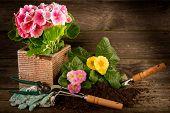 primrose and garden utensil on wood background