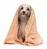 nasse Schokolade Havaneser Hund nach Bad