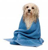 Wet Cream Havanese Dog After Bath