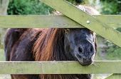 Shetland Pony Looking Through A Five Bar Gate