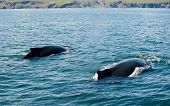 Two Mighty Humpback whales (Megaptera novaeangliae) seen from the boat near Husavik, Iceland