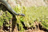 Sipedon (Natrix) kruipen op Mossy hout Log