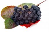 picture of aronia  - aronia fruit food close - JPG