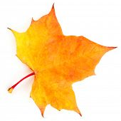 Yellow maple leaf isolated on white background