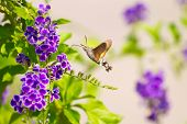 foto of hawk moth  - hummingbird hawk - JPG