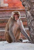 Rhesus macaque monkey
