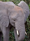 Detail Of Baby Elephant's Head