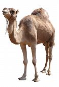 stock photo of hump  - isolated single hump camel with clipping path - JPG