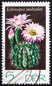 Postage stamp GDR 1974 Echinopsis Multiplex, Cacti