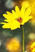 Постер, плакат: Красивый желтый цветок