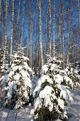 Forest in winter, beautiful Christmas time in Latvia, Baltic states, Europe