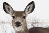 stock photo of mule  - A mule deer in the winter is smilling - JPG