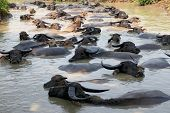 Buffalos Submerged In  Water