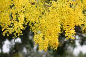 stock photo of vishu  - Cassia Flower in summer of Thailand - JPG