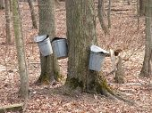 Maple Syrup Time In Ohio