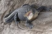 picture of alligator  - Aggressive alligator with his  wide open mouth - JPG
