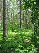 Mixed forest. Summer landscape