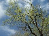 image of early spring  - early spring leaves against a pretty sky - JPG
