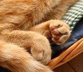 Detalhe as pontas dos dedos de um gato vermelho