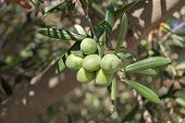 stock photo of grown up  - olive branch with some unripe green olives grown in Spain - JPG