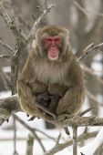 Snow Monkey Sitting On A Branch